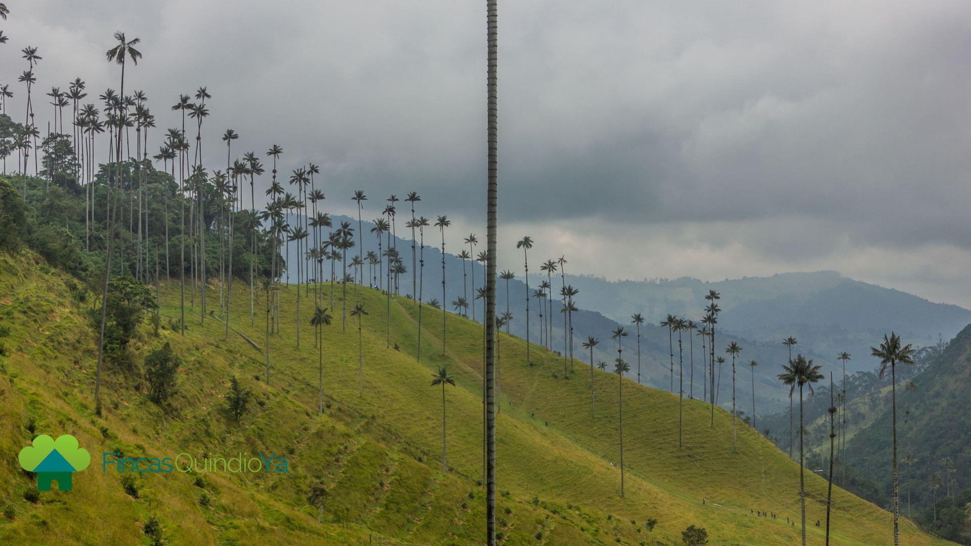 Foto de las palmeras en el valle de cocora