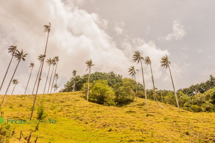 Palmas de Cera en el Valle de Cocora, un lugar en los Vídeos sobre el Quindio